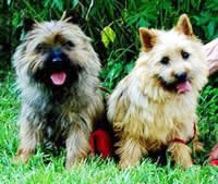 Cairn_Terrier_Breeder