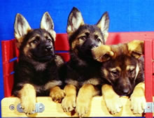German Shepherd puppies and dogs for sale