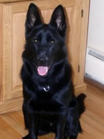 Jetta, black German Shepherd.