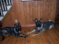 Max, Luke, Stella - German Shepherd dogs.
