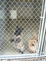 Cairn Terriers sharing a kennel. Aren't we cute?